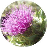 Indication-specific dosing for carduus marianum, holy ...